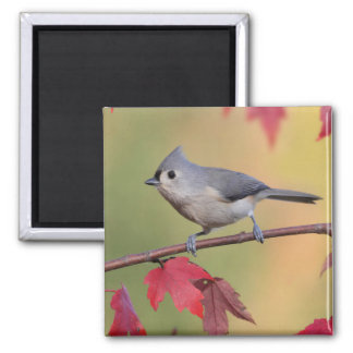 Tufted Titmice 2 Inch Square Magnet