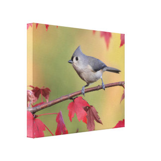 Tufted Titmice Canvas Print