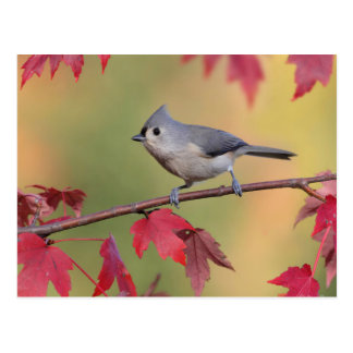 Tufted Titmice Postcard