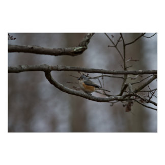 tufted-titmouse-2013-12-25 póster
