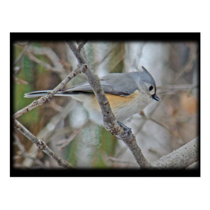 Tufted Titmouse (Baeolophus bicolor) Items Postcard