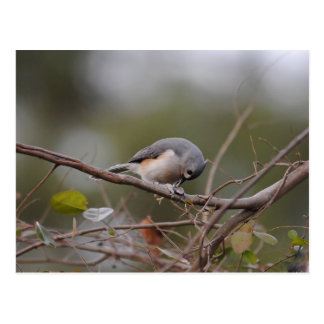 Tufted Titmouse Eating a Seed Postcard