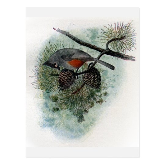 Tufted Titmouse Perched on Pinecone Postcard