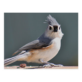 Tufted titmouse postcard