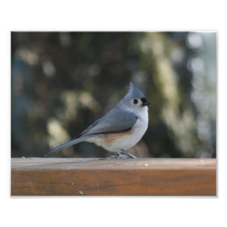 Tufted titmouse with tuft up photo print
