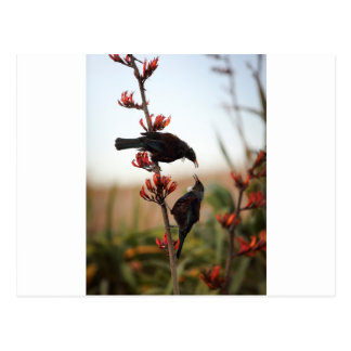 Tui birds on New Zealand flax bush Postcard