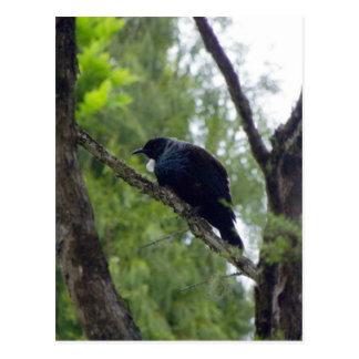 Tui in Rimu Tree Postcard