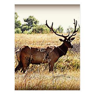Tule Elk Bull Post Cards