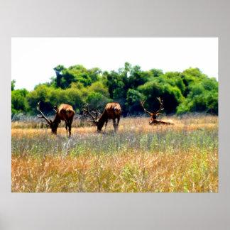 Tule Elk Bulls Poster