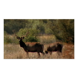 Tule Elk Poster