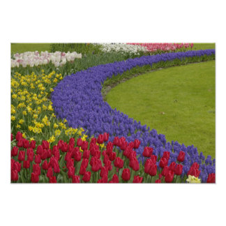 Tulip and Grape Hyacinth and daffodil garden, Poster