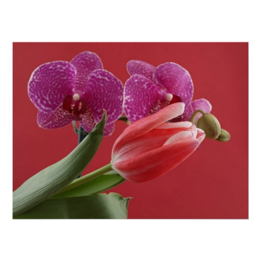 Tulip and Orchid Posters