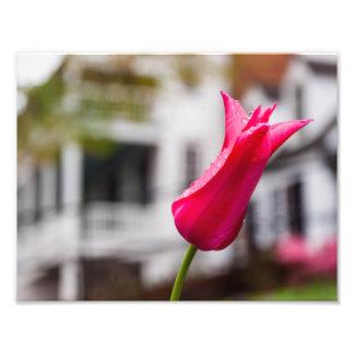 Tulip at Michie's Tavern Photo Print