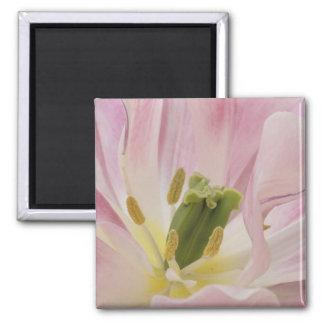 Tulip close-up, Keukenhof Gardens, Lisse, Magnet