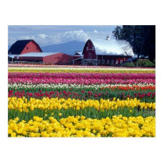 Tulip display field postcard