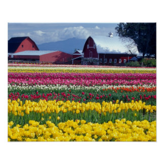 Tulip display field poster