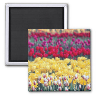 Tulip display garden in the Skagit valley, 2 Inch Square Magnet
