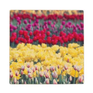 Tulip display garden in the Skagit valley, Wood Coaster