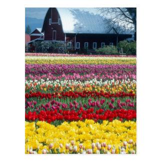 Tulip display garden, Skagit county, Postcard
