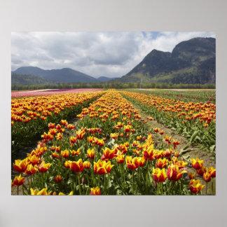 Tulip Farm near Agassiz, British Columbia, Poster