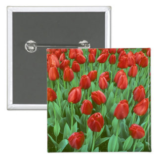 Tulip field blooms in the spring. pinback button
