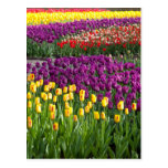 Tulip Field Post Cards