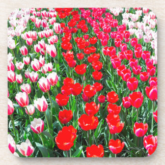 Tulip field with various red tulips in rows beverage coaster