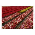Tulip fields Holland Cards