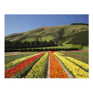 Tulip Fields, near Tapanui, West Otago, South 2 Postcard