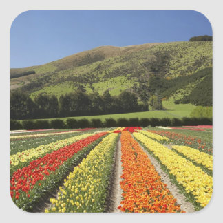 Tulip Fields, near Tapanui, West Otago, South 2 Square Sticker