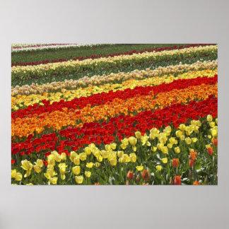 Tulip Fields, near Tapanui, West Otago, South Print