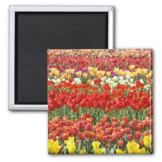 Tulip Flower Festival magnets Red Tulips