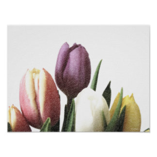 Tulip flowers, Botanical floral fine art drawing Poster