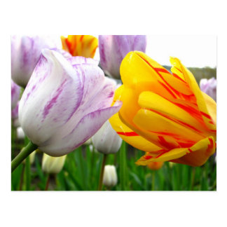 Tulip Love Postcard