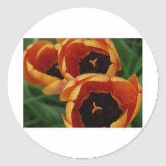 tulip, mixed orange classic round sticker