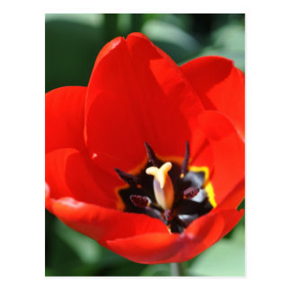 Tulip Perception Postcard