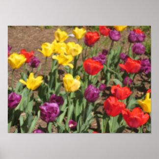 Tulip Photo Poster