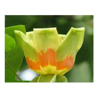 Tulip Poplar Postcard