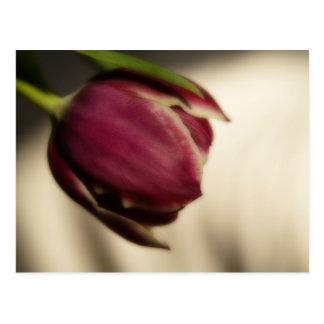 Tulip (postcard) postcard