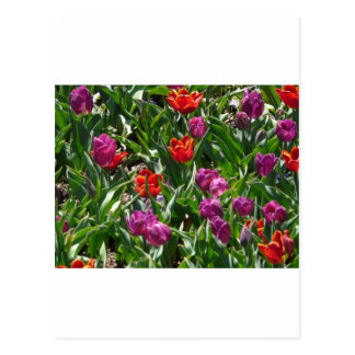 tulip,purple and red postcard
