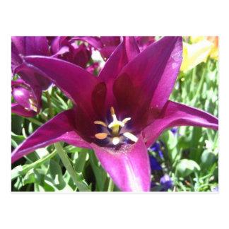 tulip,purple star tulip postcard