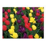 Tulip Rainbow Postcard
