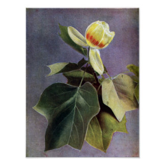 Tulip Tree Flower Poster