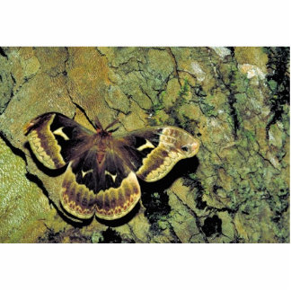 Tulip-tree silk moth statuette
