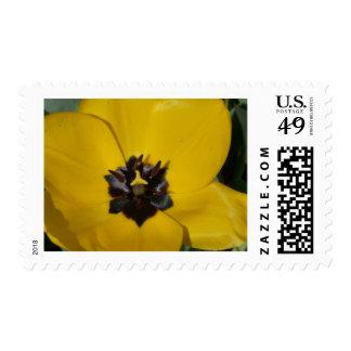 tulip, yellow stamp