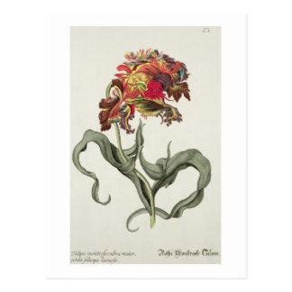 Tulipa Monstrosa Rubra Maior de 'Phythanthoza Ic Postales