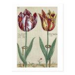 Tulipa Octaviani del pont, y Tulipa elegante, para Postal