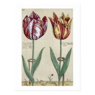 Tulipa Octaviani del pont, y Tulipa elegante, para Tarjetas Postales