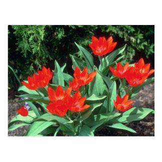 Tulipán anaranjado, (Tulipa Acuminata) flores Postales