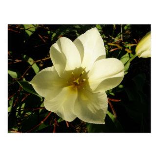 Tulipán blanco postales